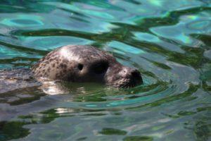 seal swimming in the sea