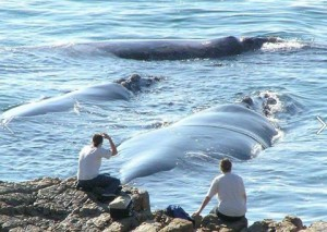 Tourists watching whales in hermanus